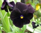 Black Pansy, Clear Crystal Black Pansy, Flower Garden, 20 Seeds