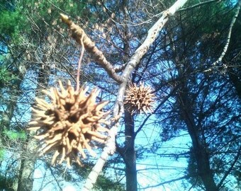 Witches Burrs Sweet Gum pods, herbs, tree, hoodoo, metaphysical