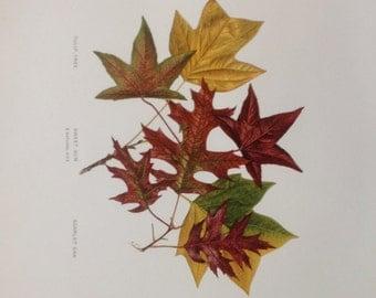 Original Antique Chromolithograph Leaf Print from 1907 Ephemera