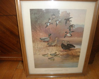 "Lynn Bogue Hunt Framed Print: ""Blue-Winged Teal, Wood Duck, Mallard, Black Duck and Green Winged Teal"""