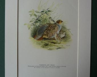 Vintage 1945 Partridge & Chicks Matted Print - Ornithology - Game Hunting - Mounted - Shooting - Bird - Nature - Fine Art