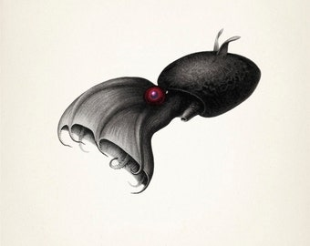 Vampire Squid (Vampyroteuthis Infernalis) - OC-17 - Fine art print of a vintage natural history antique illustration