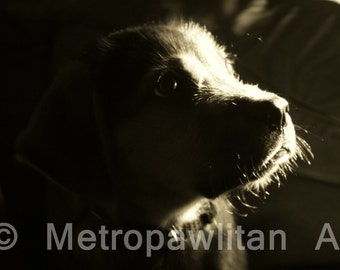 Dog Photograph Beagle Puppy Close Up Mixed Breed 8x10 Black and white (IMG2193)