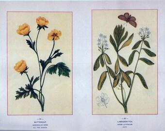 Antique Botanical Illustrations c1895 -Buttercup, Labrador Tea