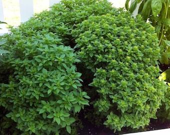 Globe Bush Basil,  Heirloom 40+ seed pack