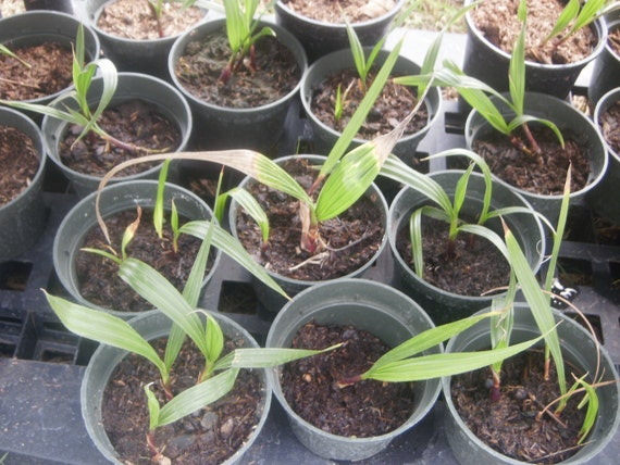 how to get rid of palm tree seedlings