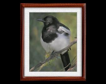 Magpie Print - 8x10 Magpie Photograph - Bird Photograph - Bird Print (P5)