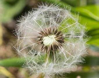 Dandelion wall art, Nature Photography, Dandelion Photograph, Flower Photography, Flower Print, Macro Photograph