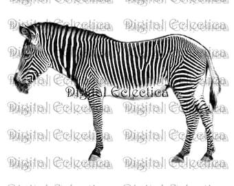 Zebra Engraving. Zebra PNG. Animal PNG. Zebra Prints. Zebra Images. Zebra Pictures. Zebra Art. Zebra Clipart. Zebra Drawings. No. 0044.