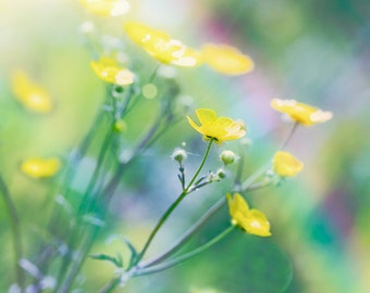 Nature Photography, Buttercups, Wild flowers, Yellow, Rainbow, Summer, Fine Art print.