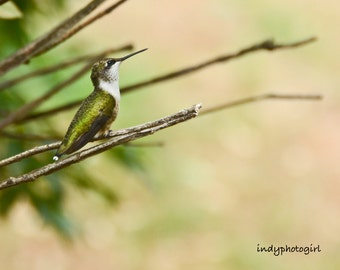 Perched Ruby Throated Hummingbird 5x7 Photograph