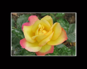 Yellow Rose at Rodin Museum, Flower Photography Print, 8x10 matted to 11x14, or 5x7 matted to 8x10, Home Décor, Wall Art