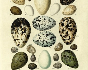 Vintage Bird Eggs Print Nature print home decor wall art Natural History Victorian art garden wall art antique prints bird art print poster