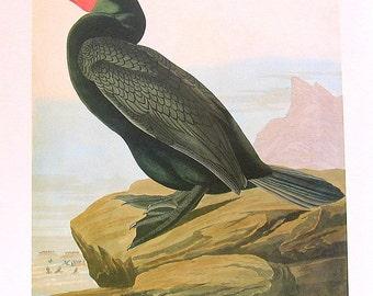 Large Bird Print - Audubon Birds - Double Crested Cormorant - 1981 Vintage Audubon Bird Book Page