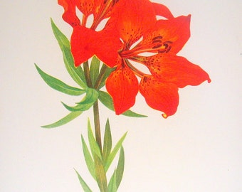 Flower Print - Western Red Lily, Catalina Mariposa - 2 Sided - 1950's Vintage Botanical Illustration Book Page