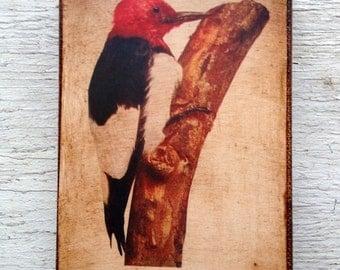 Vintage Bird Woodpecker  Specimen 1904 -  Small Wall Art
