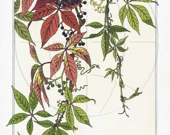 Five Leaved Ivy - Vintage Botanical Poster Art  Reproduction -  on 11 x 17