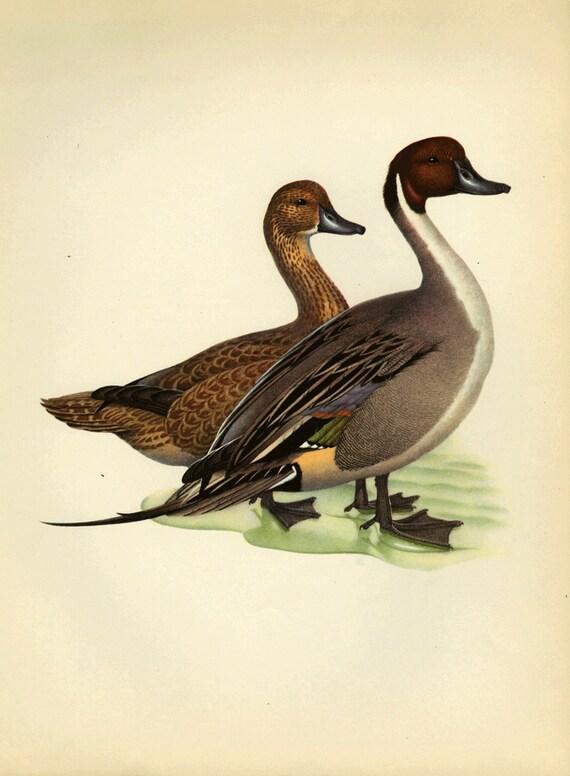 Vintage Bird Pintale Duck by Menaboni Print Book Plate SALE Buy 3, get 1 Free