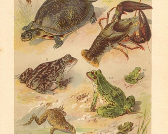 1901 Freshwater Fauna, European Tree Frog, Common Frog, European Pond Terrapin, Edible Frog, European Fire-bellied Toad Antique Lithograph