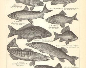 1906 Original Antique Engraving of Fishes