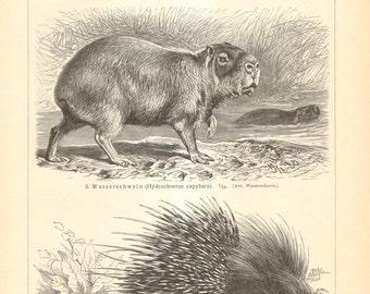 1905 Original Antique Engraving of Rodents, Guinea Pig, Alpine Pika, Capybara, Porcupine, Vizcacha, Coypu, Chinchilla, Beaver
