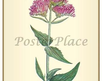 Valerian ART CARD -  Botanical print reproduction 1-104
