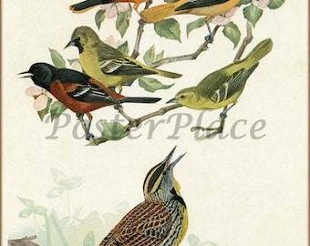 Baltimore Oriole ART CARD - Antique bird print reproduction
