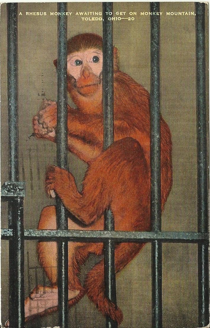 https://www.etsy.com/listing/152081829/vintage-linen-postcard-rhesus-monkey?ref=tre-2724573252-16