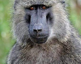 Baboon Portrait - Samburu, Kenya - Available Sizes (5x7) (8x10) (11x14) (16x20) (20x25) (24x30)
