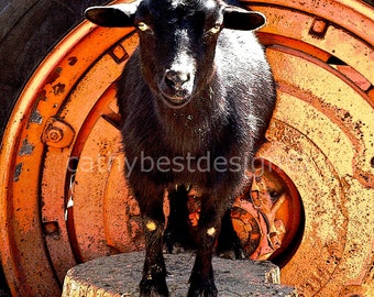 Goat and Tractor Tire Fun Photograph Goat Wall Art