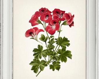 Pelargonium Grandiflorum Botanical Illustration - 8x10 - Fine art print of a vintage natural history antique botanical illustration