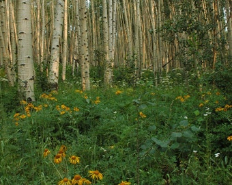 Summer Aspen Grove and Yellow Daisies Crested Butte, Colorado - FIne Art Photograph 8 x 10 Print