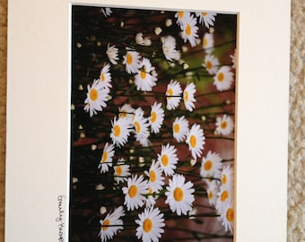Field of Daisies 8x10