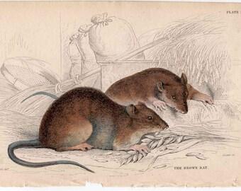 1836 ANTIQUE RAT ENGRAVING original antique animal rodent engraved print - brown rat