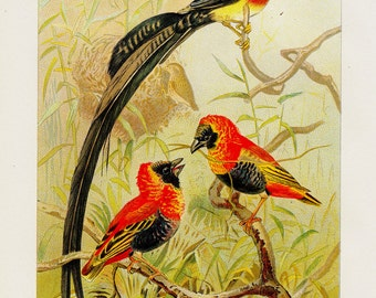 Antique print, 1901 Antique WEABER BIRDS  fine engraving, original antique gorgeous print