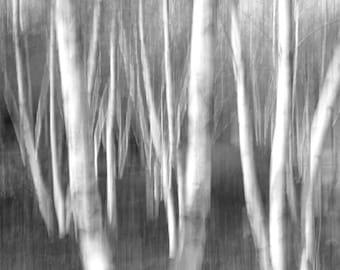 Birch Trees photography, black and white art photo print, B&W woods photo, art picture home decor 8x10 11x14 12x12 16x20 24x36
