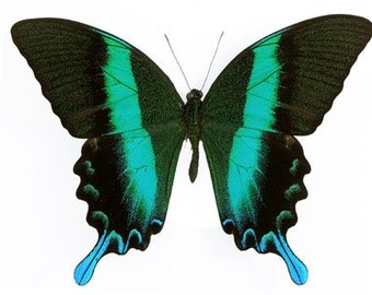 Real Peacock Swallowtail Butterfly, Papilio blumei,  spread for your project or laminated or unmounted