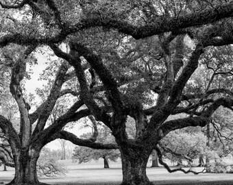 300 year-old Plantation Oaks, Louisiana -- Black and white landscape photograph