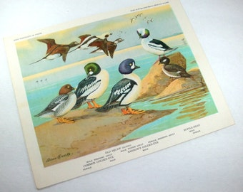Vintage Bird Print, Bird Portraits In Color, Allan Brooks, Old Squaw, Common Golden Eye, Barrow's Golden Eye, Buffle Head, Picture  (467-13)