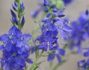 Organic Hyssop Heirloom Herb Flower Seeds