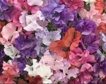 Organic Sweet Pea Royal Family Heirloom Flower Seeds