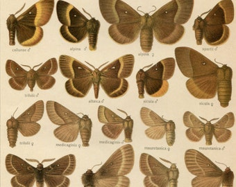 Original Antique Moth Chart: Lasiocampa