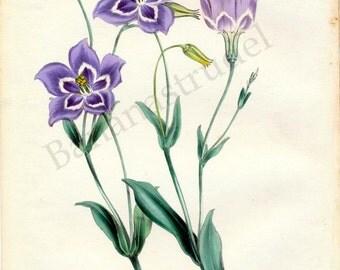 Antique Botanical Print - Eustoma Exaltatum - Handcolored - Rare 1847 Print - Joseph Paxton -