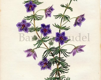 1847 Rare Antique Hand-coloured Botanical Print by Joseph Paxton. Tetratheca Verticillata