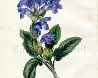 1847 Rare Vintage Botanical Print by Joseph Paxton - Dracocephalum Grandiflorum - Handcolored