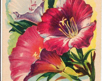 GODETIA! Vintage Flower Seed Packet Tuckers Seed House Lithograph (Carthage, Missouri)