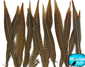 """Natural Tail Feathers, 10 Pieces - 12-14"""" Natural Golden Pheasant Tail Feathers : 2230"""