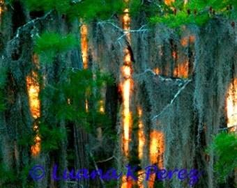 Sun Sinking Behide Louisiana Cypress Trees