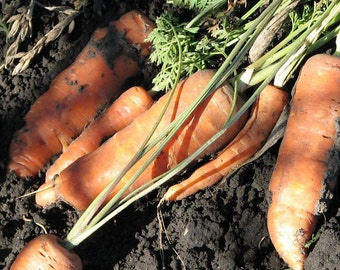 Carrot, Little Finger Carrot Seeds - Gourmet Sweet Treat from the Garden
