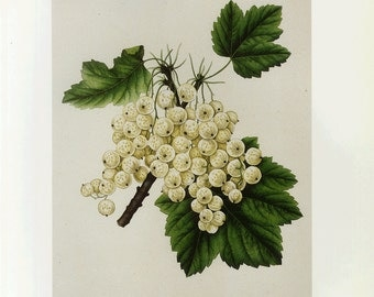 White Grapes Art Print Plate by Prestele Book Plate SALE Buy 3, get 1 FREE